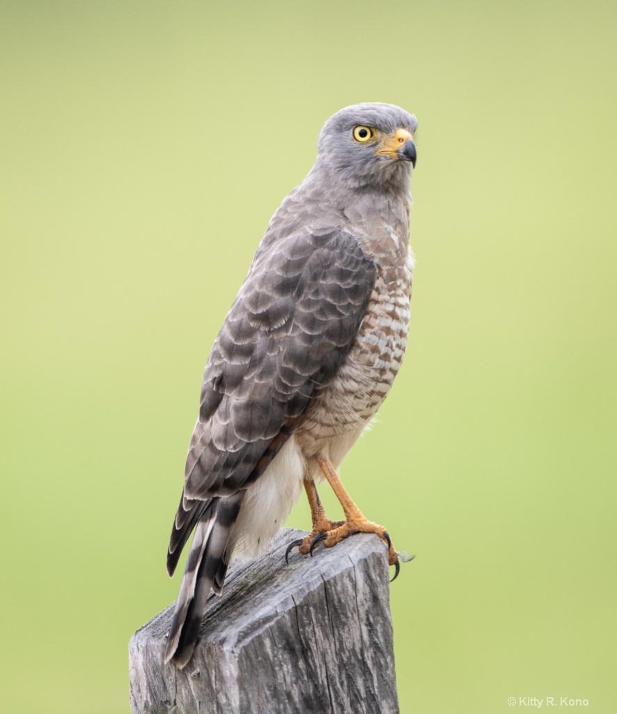 The Roadside Hawk