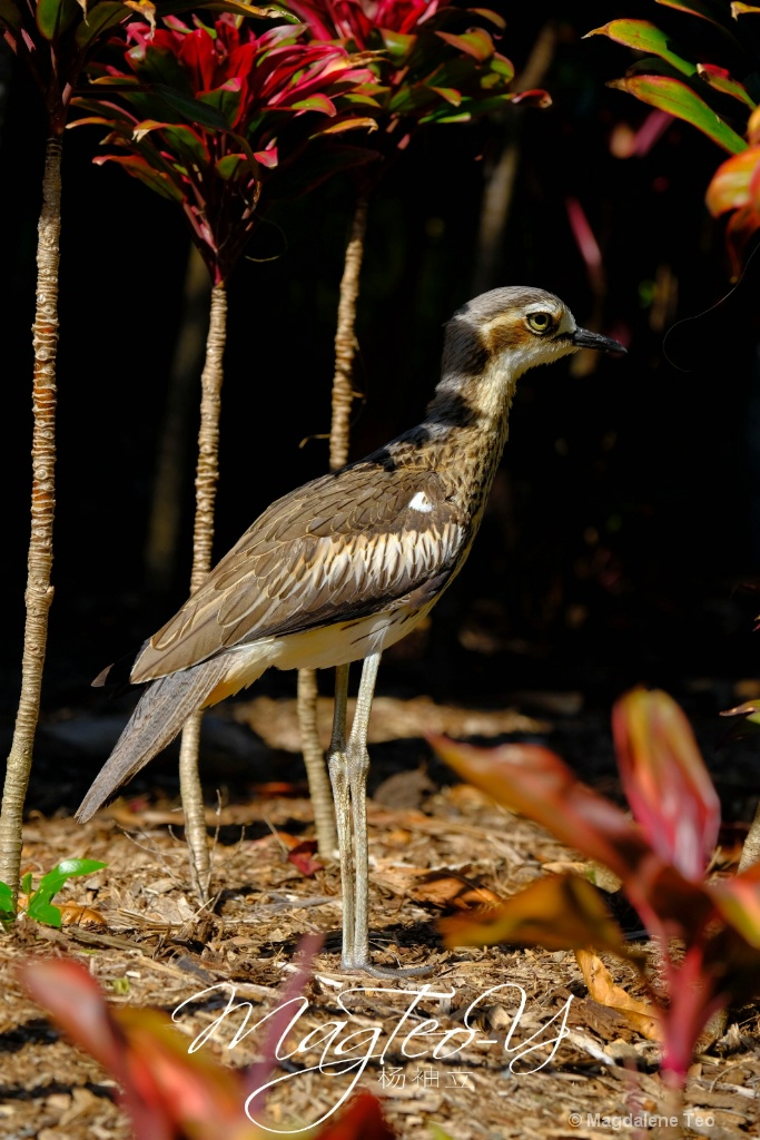 Australian Bird Series - Bush Stone-curlew