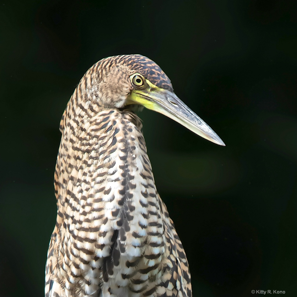 The Inquisitive Tiger Heron