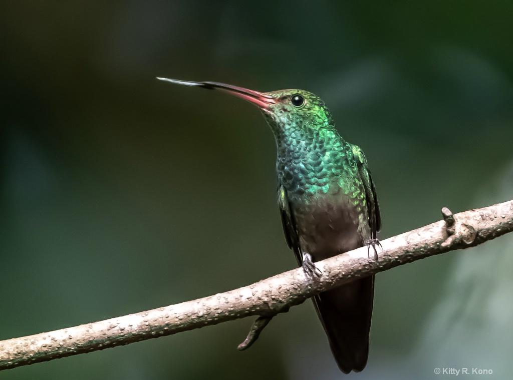 Hummingbirds Tongue