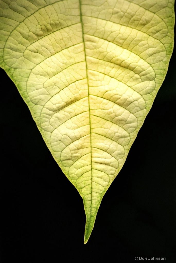 White Poinsettia Leaf 3-0 F LR 1-3-19 J170