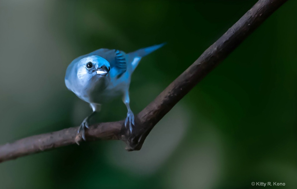 Blue Gray Tanager Checking Lens