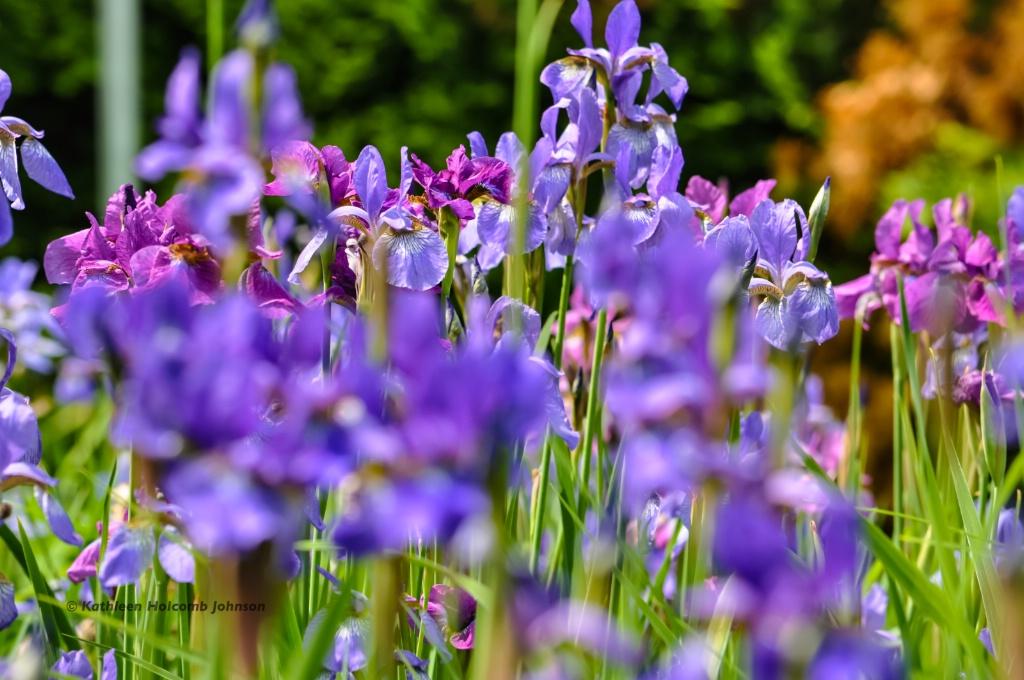 Wild Irises!