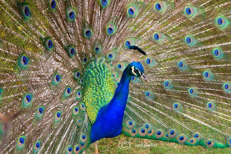 Proud peacock 1