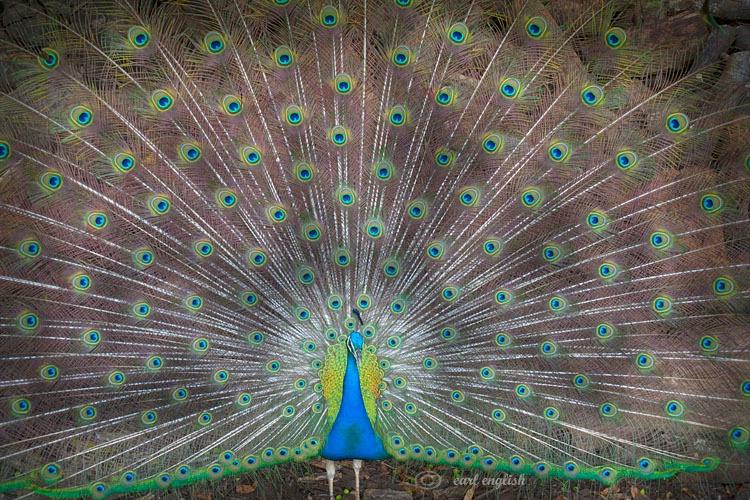 Proud peacock 2