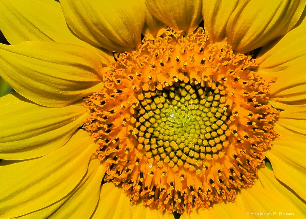 Center of Sunflower