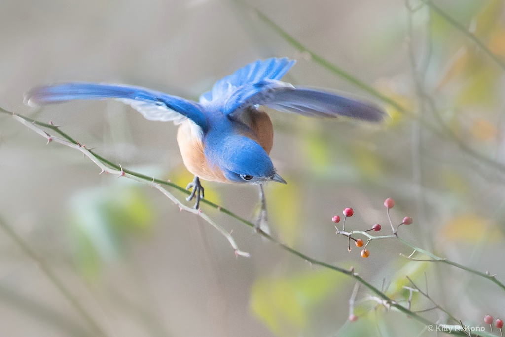 Bluebird Eyeing the Berries