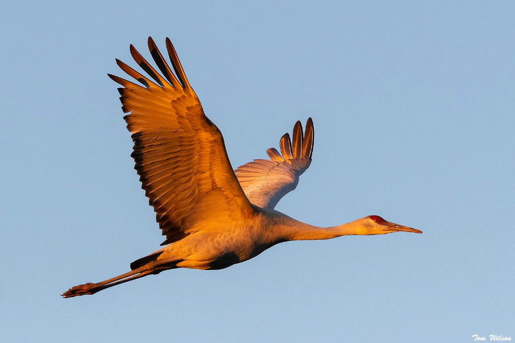 Sunset Light on Sandill Crane