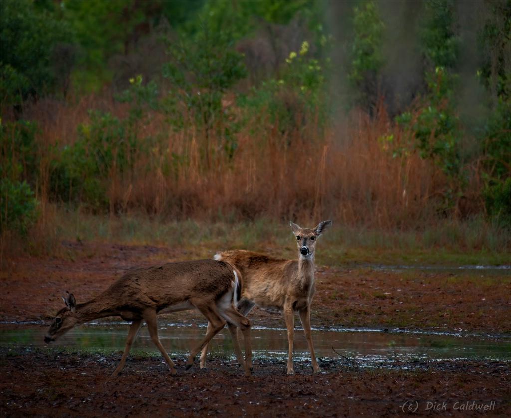 Morning deer.  Image by Dick Caldwell.