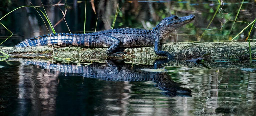 American Alligator - Okefenokee NWR. Georgia