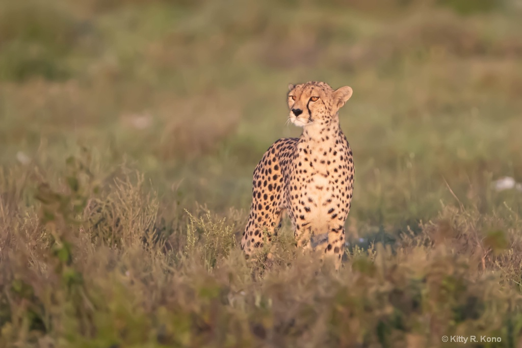 Cheetah in the Morning Light