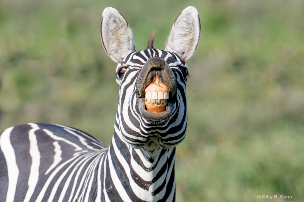 Zebra Smiling for the Camera