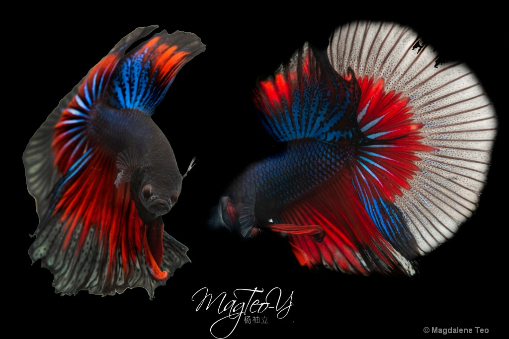 Macro/ Close Up: Betta Fish