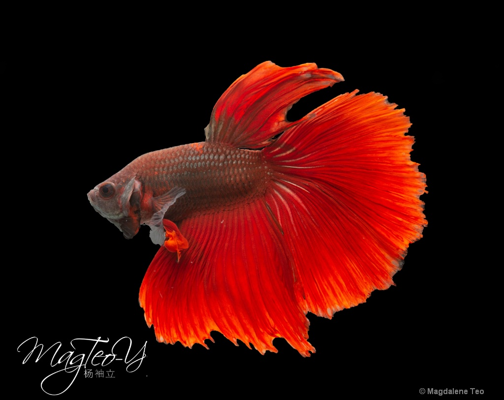 Macro/ Close Up: Betta Fish - Red