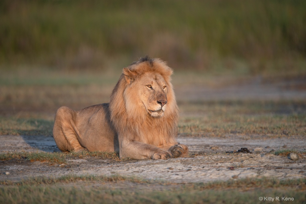 Lion at Dawn