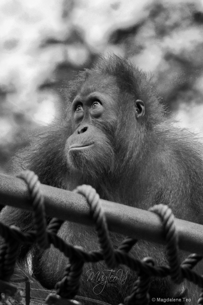 Wildlife Series - Monkey: Orangutan