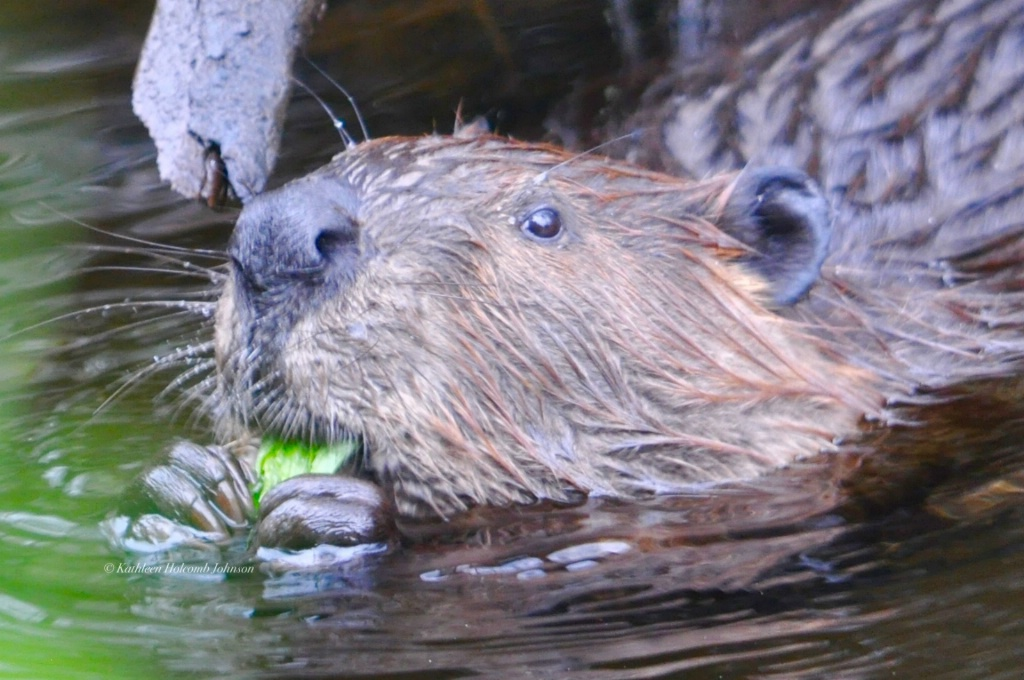 Leave it to the Beaver!
