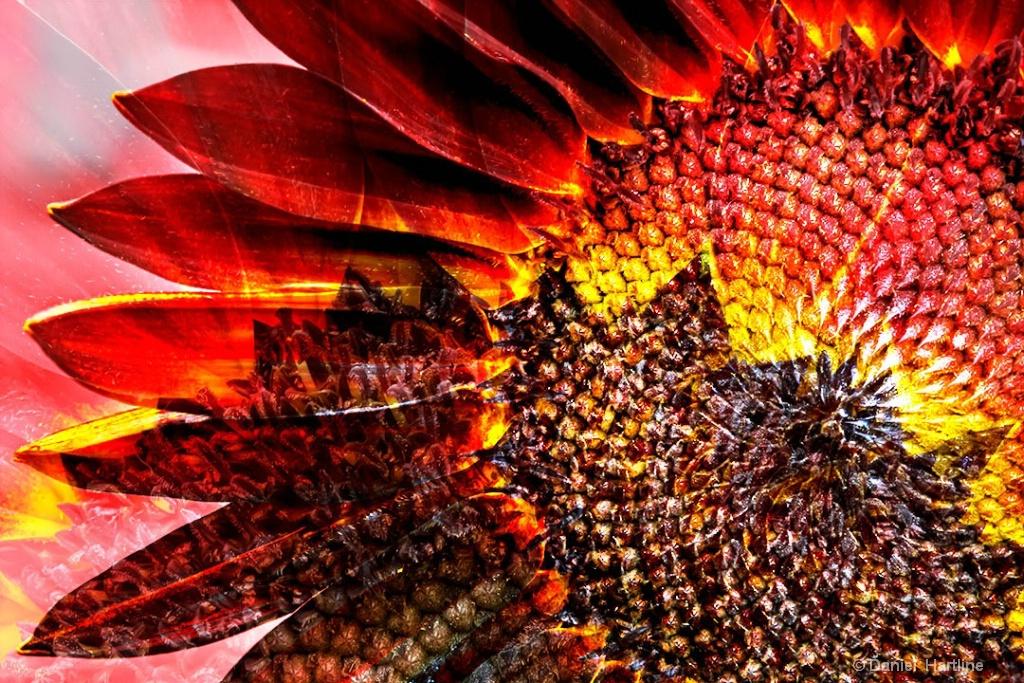 sunflower-165