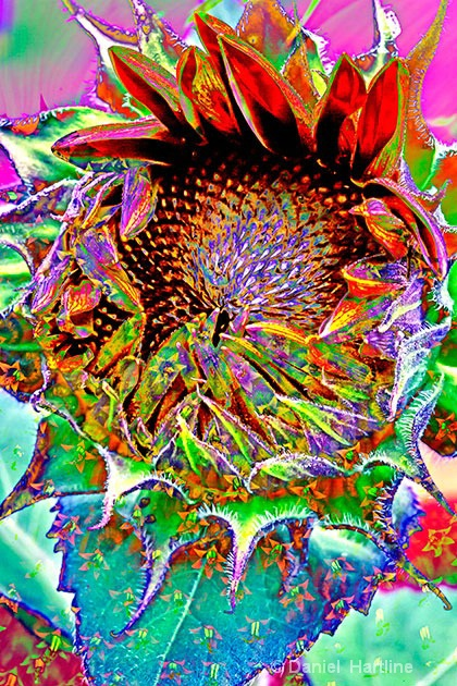sunflower-comp-6