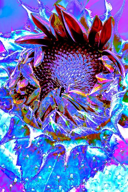 sunflower-comp-7