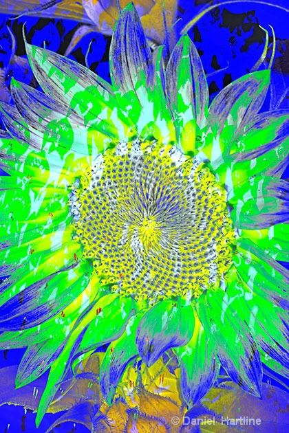 sunflower-comp-10