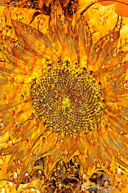 sunflower-comp-9