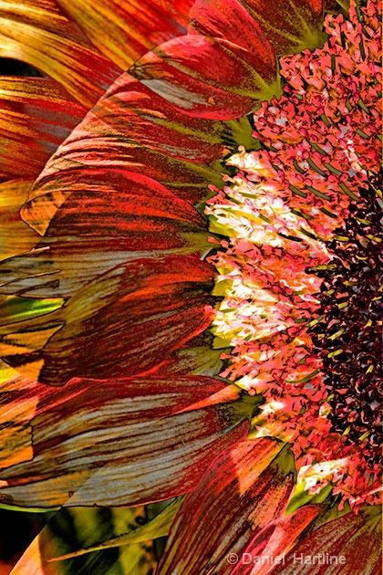 sunflower-comp-13