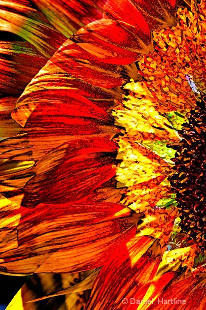 sunflower-comp-14