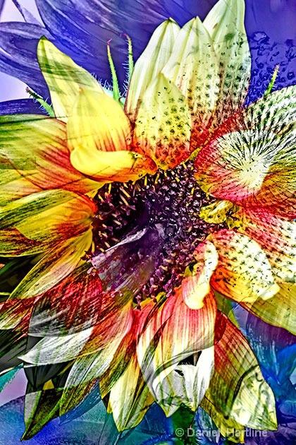 sunflower-comp-19