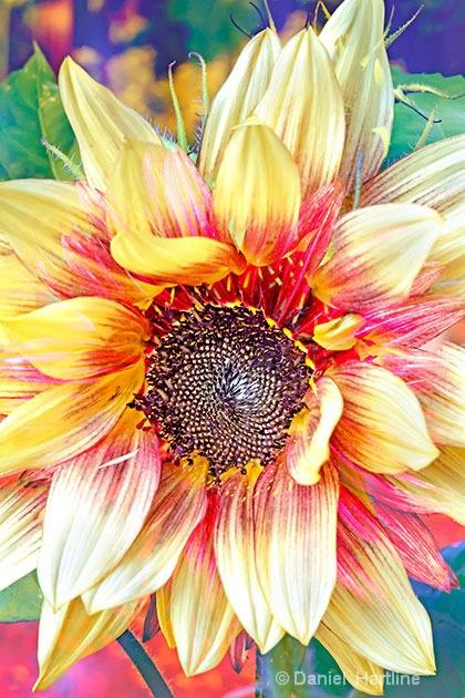 sunflower-comp-20