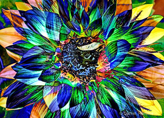 sunflower-comp-25