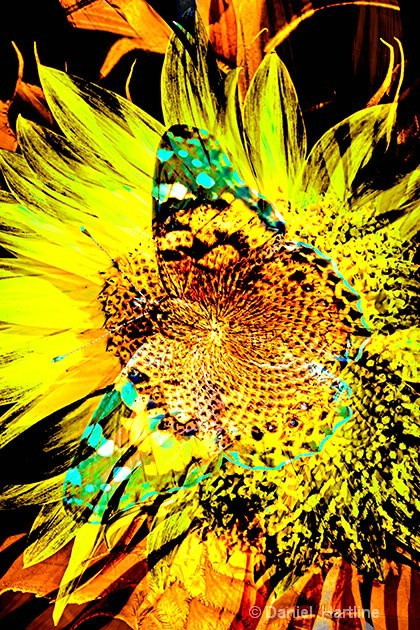 sunflower-comp-27
