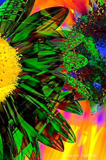 sunflower-comp-29