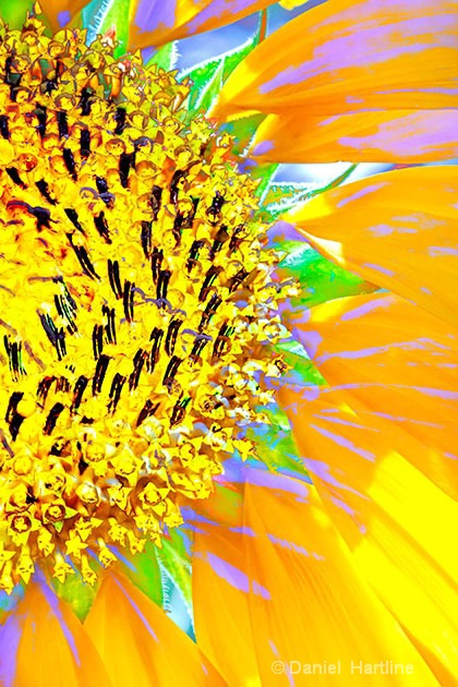 sunflower-comp-30