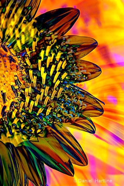 sunflower-comp-31