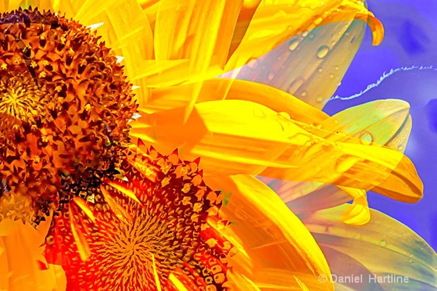 sunflower-comp-35