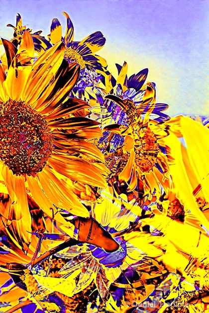 sunflower-comp-38