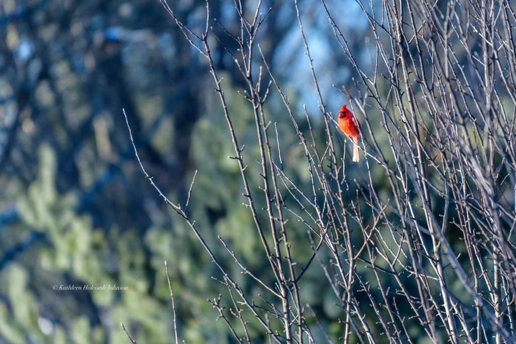 The King - Mr. Cardinal!