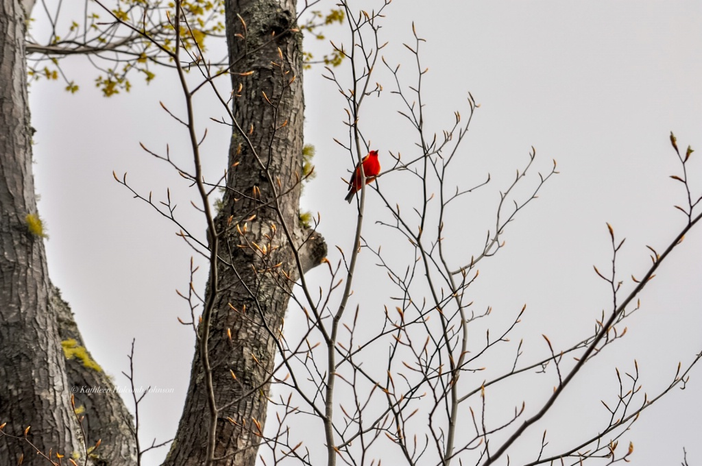 Male Scarlet Tanager!