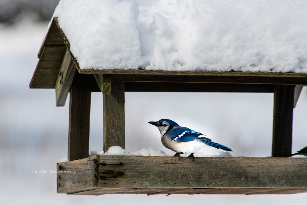 Blue Jay Feeding!!