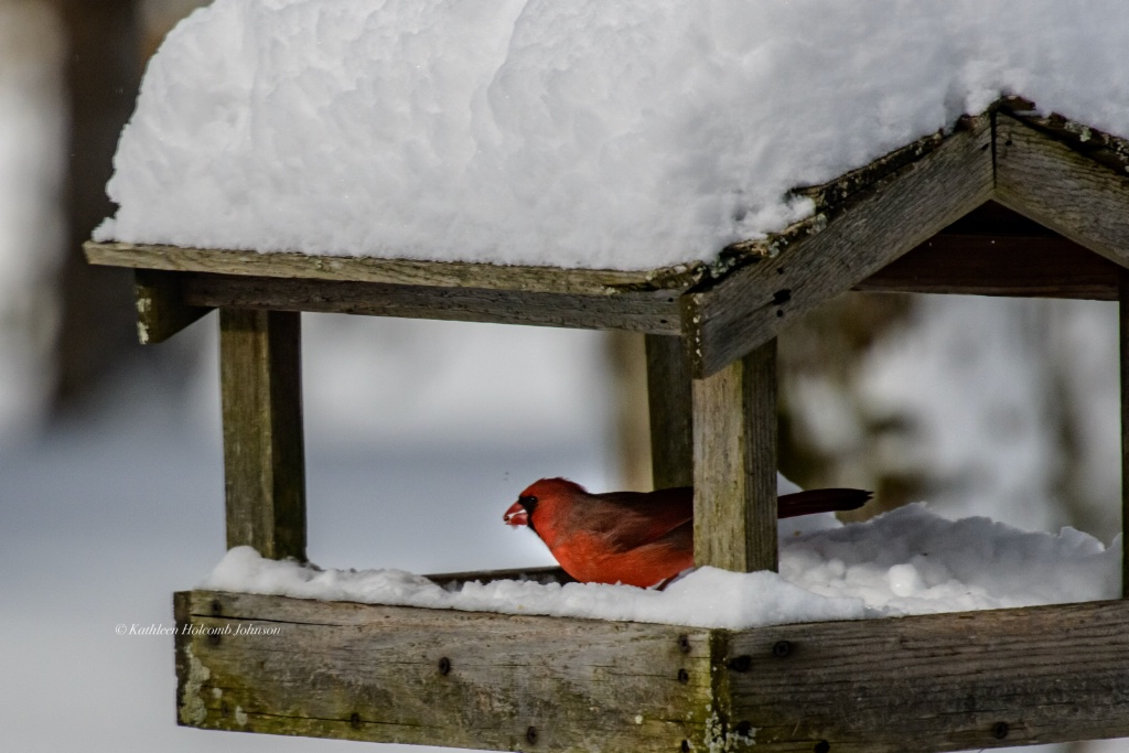 Cardinal Eating Seeds for Breakfast!