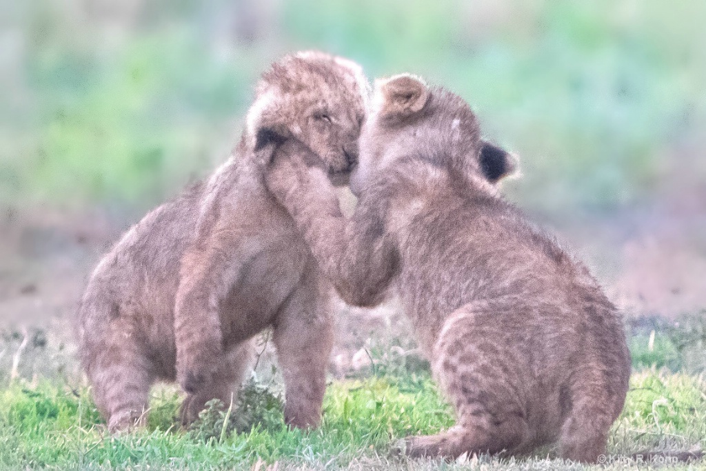 Kissing Cubs