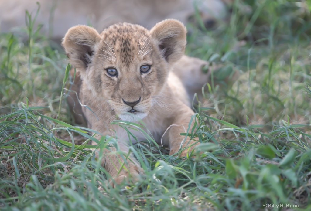 Cutest Lion Cub in All of the Serengeti