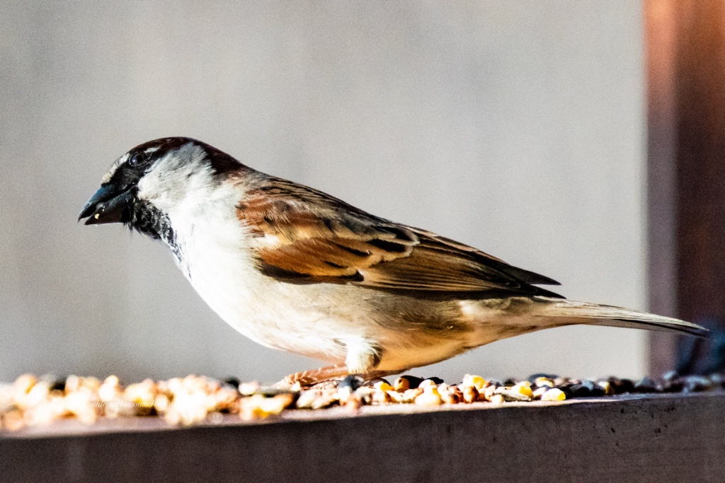 Hungry Sparrow!