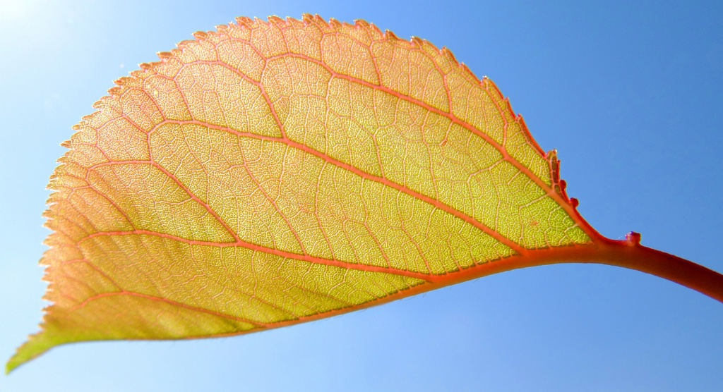 The leaf's arteries and veins.