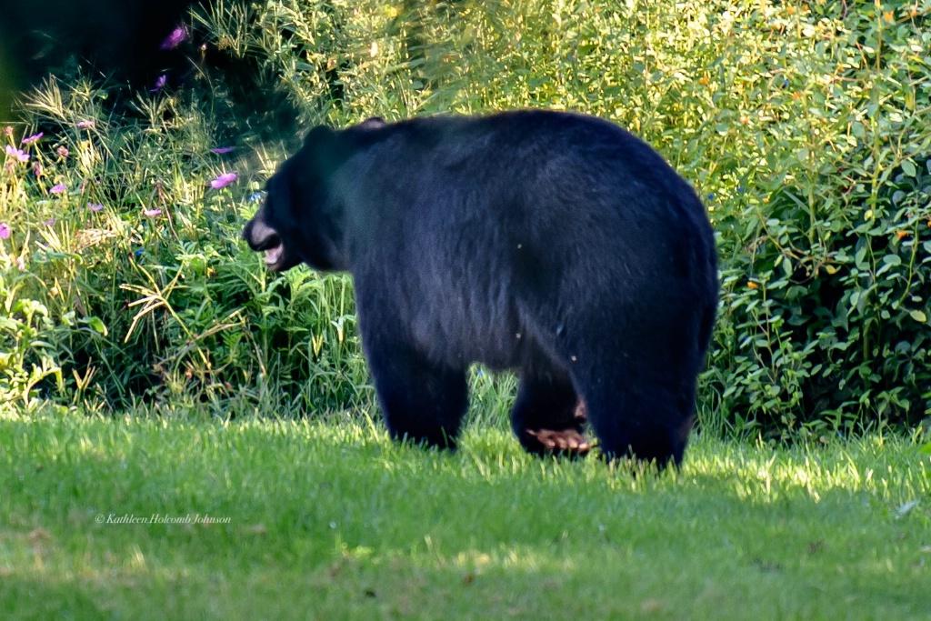 Rare Look at Bottom Of Bears Foot!