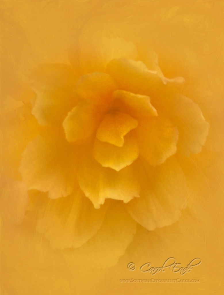 Camellia Begonia