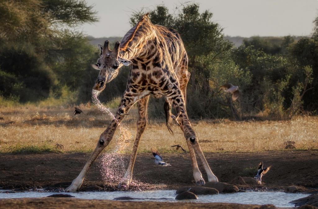 Drinking Giraffe 5679