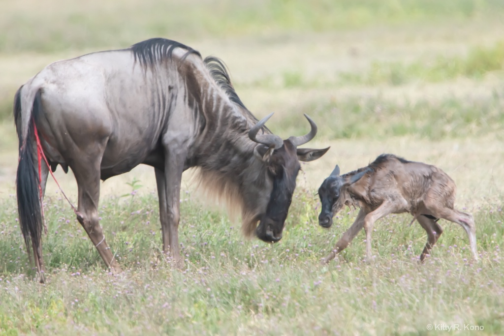 Baby Wildebeest is up after just minutes