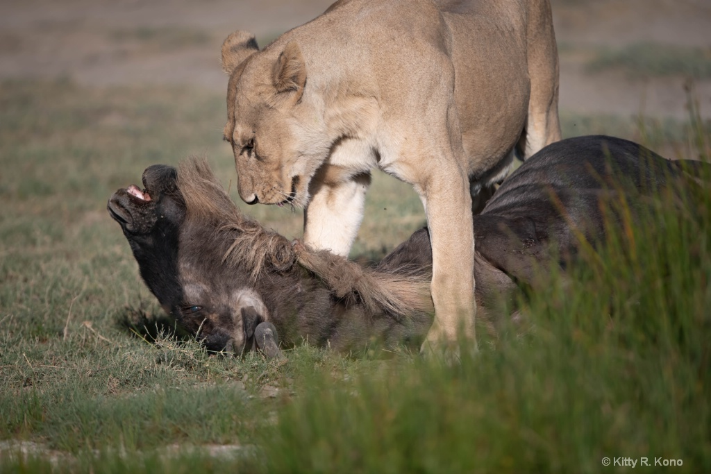 Lion About To Drag Wildebeest